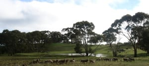 Clare_valley_sheep