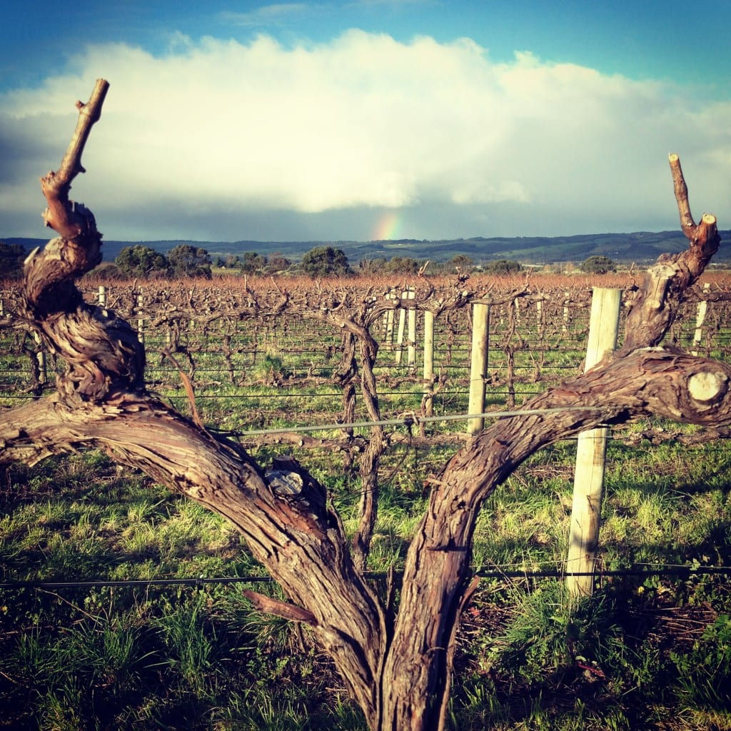 A freshly pruned 17 year old SHZ vine on Omensetter Vineyard